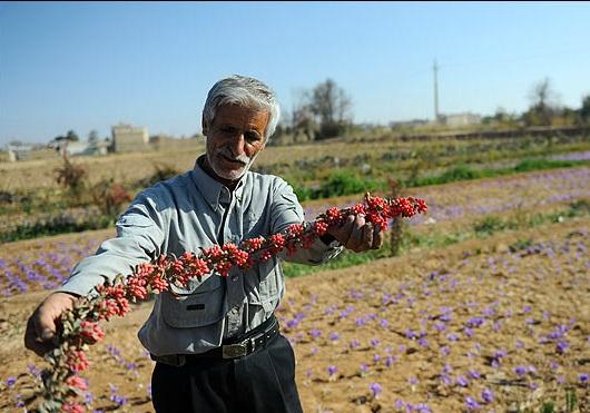 اصلاح روش آبیاری از ضروری ترین نیارهای کشاورزی شهرستان است+ تصاویر