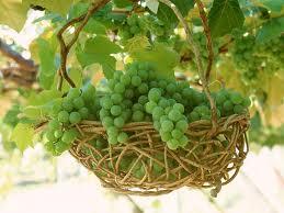 انگور باغات دولت آباد خریدار ندارد!!! تصاویر