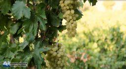 لزوم برنامه ریزی برای توسعه کمی و کیفی سطح زیر کشت انگور برخوار/ تصاویر