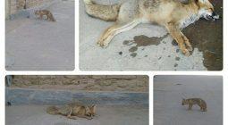 مرگ یک قلاده روباه دیگر، این بار در حبیب آباد