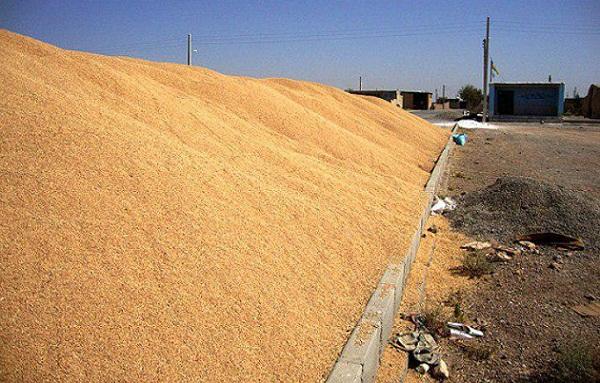 حاصل تلاش یک ساله گندم کاران برخوار در انبارهای سرباز/ سیلوها گندم ها را تحویل نمی گیرند