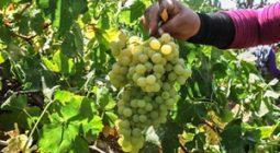پیش بینی برداشت بیش از سه هزار تن انگور در برخوار
