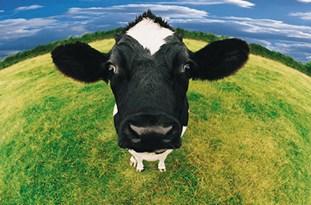 فیلم/ گوسالهای که روی دو پا راه میرود!