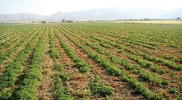 کشت ۱۰نوع گیاه دارویی در برخوار