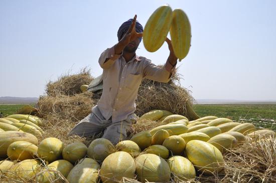 اولین جشنواره برداشت خربزه در شهر سین برخوار برگزار می شود