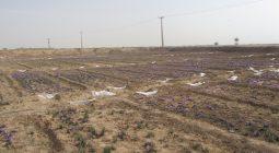 افزایش سطح زیر کشت زعفران برخوار به ۲۲هکتار
