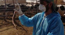 پوشش ۹۱ درصدی طرح واکسیناسیون تب برفکی دام ها در شهرستان برخوار