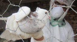 لزوم همکاری دستگاهها در کنترل و پیشگیری از آنفلوآنزای فوق حاد پرندگان/راهکارهای جلوگیری از شیوع این بیماری