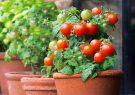 گوجهفرنگی را در منزل بکارید