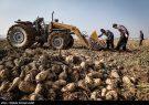 آغاز برداشت چغندرقند پاییزه در استان اصفهان
