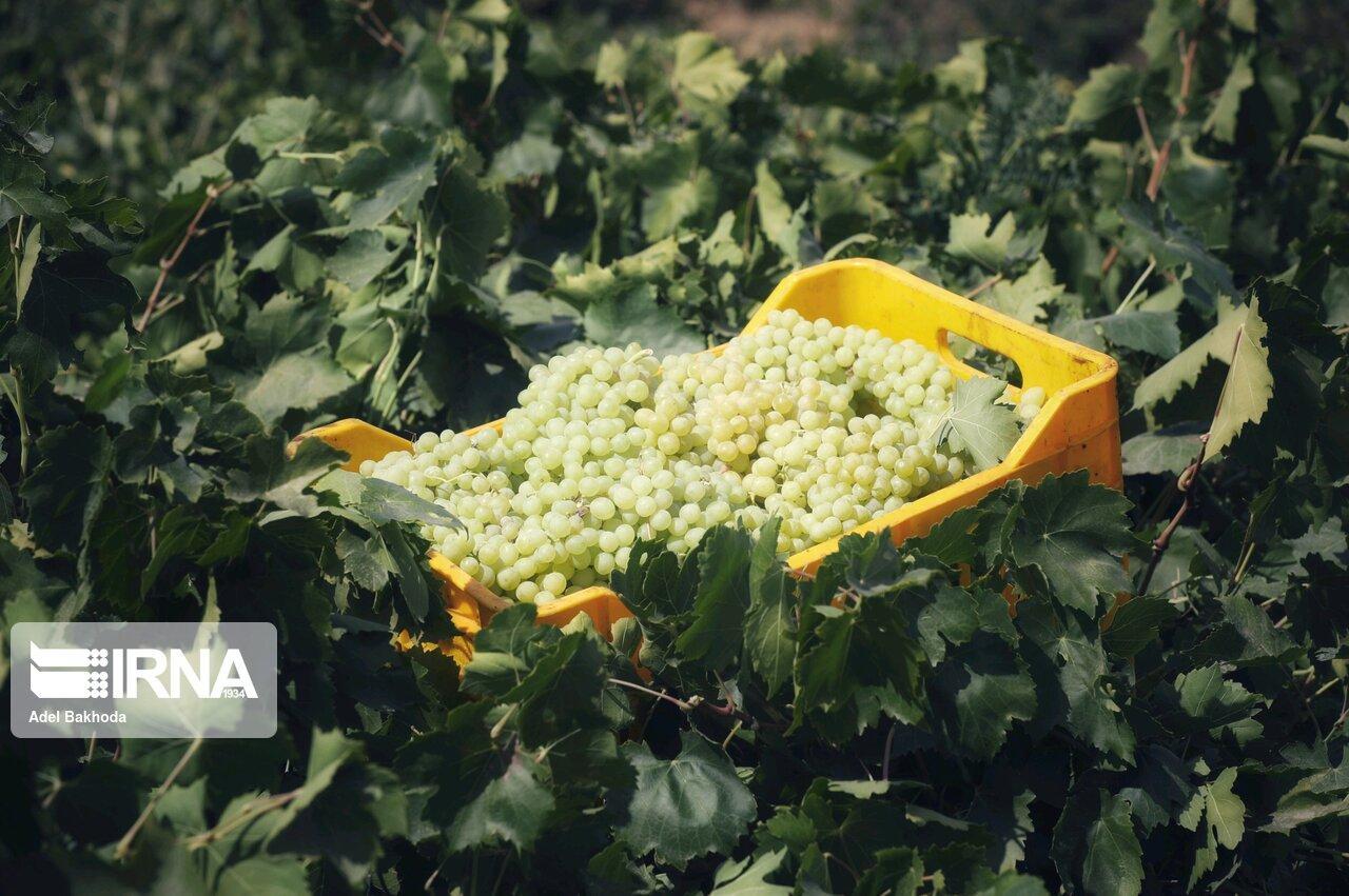 لزوم برنامه ریزی برای توسعه کمی و کیفی سطح زیرکشت انگور برخوار