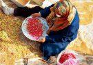 تصاویر | برداشت زرشک از 10 هکتار اراضی شهرستان برخوار