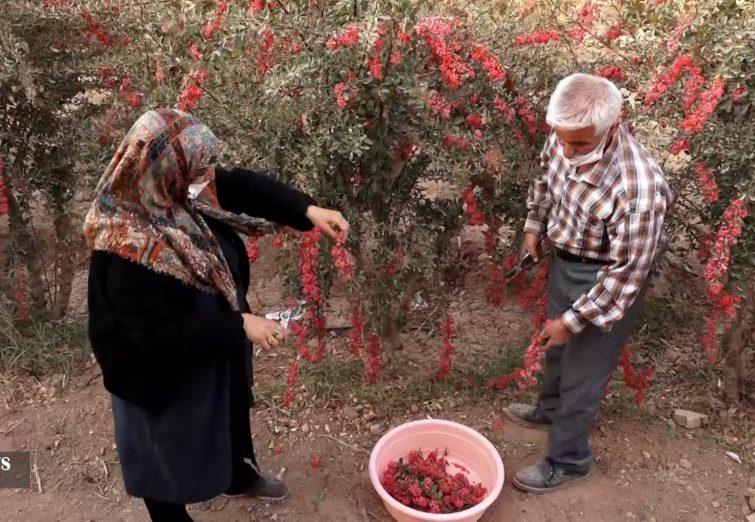 برداشت زرشک از حدود ۱۴ هکتار از باغهای استان اصفهان آغاز شد.