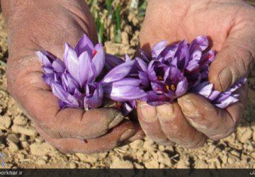 مهمترین درخواست کشاورزان زعفران و زرشک؛ برندسازی زعفران برخوار است